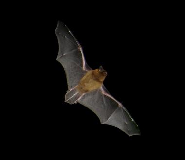 pipistrelle common