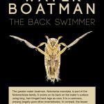 WATER BOATMAN poster